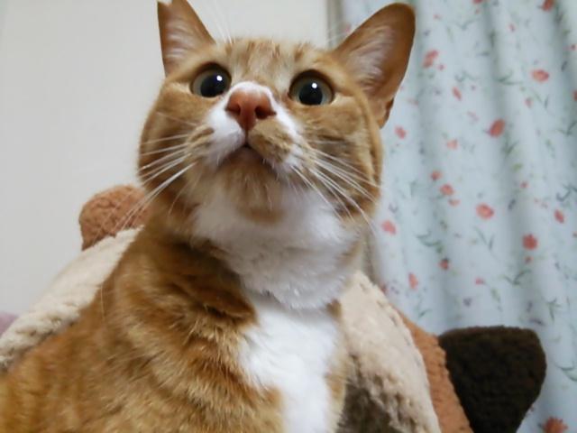 茶トラに白 猫