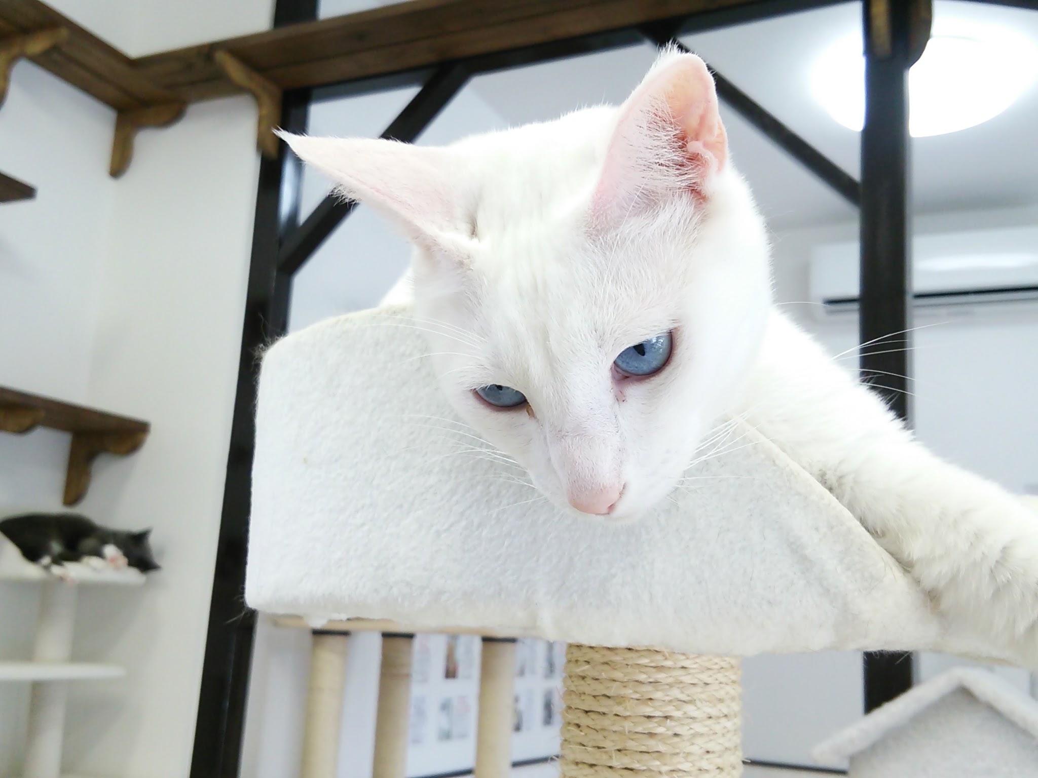 美しい白猫