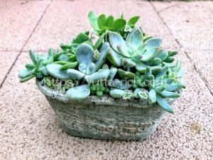 夏の多肉植物寄せ植え
