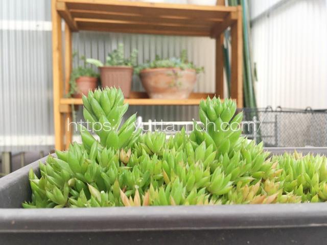 昭和 多肉植物